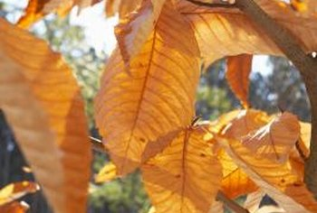 Beech trees retain many of their autumn leaves into the winter.
