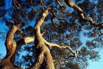 Live oak trees bear brown acorns in fall and winter.