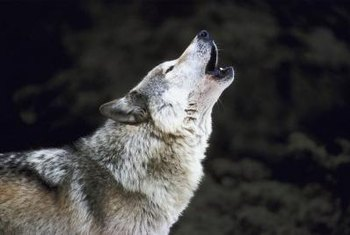 A Howling Wolf Is One Specific Theme You Might Use For Bedroom Decor