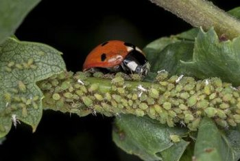 Like lacewing larvae, ladybugs eat huge numbers of aphids.