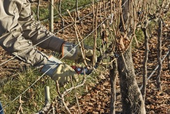 Most of a grapevine's previous year's growth gets pruned in winter.