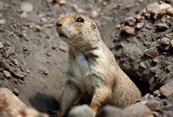 Gophers and moles dig tunnels that can ruin your yard.