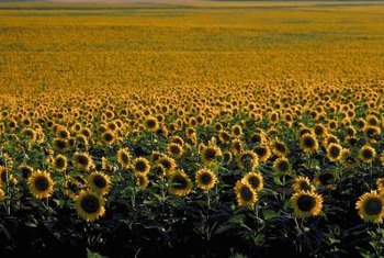 Sunflowers in a field turn their flower heads in unison.