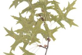 Several fungi can mar pin oak's distinctive leaves with unsightly brown spots.