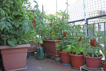 Tomato plants grow in various kinds of containers and prefer sunny conditions.