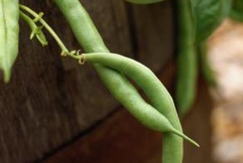 Vining varieties of green beans grow well on garden obelisks.