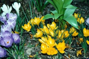 Perennial bulbs appear year after year without replanting.