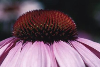 The fuzzy, prickly center of coneflowers renders them unpalatable to most deer.