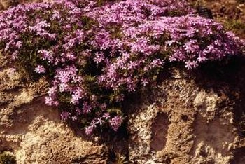 Phlox is a hardy herbaceous plant resistant to deer.
