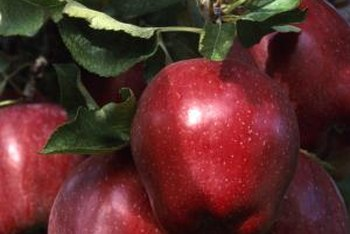 Grafting can produce full-size apples that grow on dwarf trees.