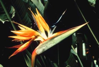 Bird of paradise plant's gaudy profile mimics the punk-rock look.