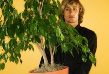 Ficus make quick-growing indoor specimen plants.