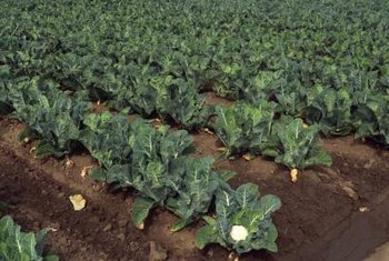 Cauliflower plants are sensitive to even slight changes in temperature.