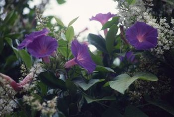 The morning glory is a popular quick-growing annual vine.