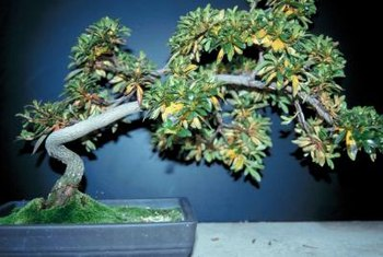 Yellowing leaves can indicate improper care of an azalea bonsai.