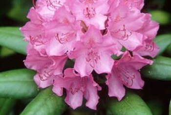 Rhododendrons are known for their clusters of bright flowers.