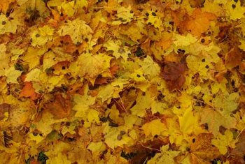 Yellow leaves in autumn indicate silver maple's natural coloration and not a disease symptom.