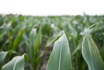 An indoor corn plant gets its name from the resemblance of its leaves to the corn stalk.