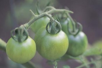 Protect green tomatoes still on the vine if a frost is in the forecast.