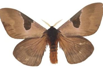 The Indian Meal Moth Is A Common Pantry Pest.