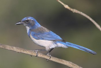 Scrub jays are among the birds attracted to pine tree seeds.
