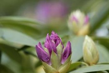 Maintain purple rhododendron with light pruning every year.