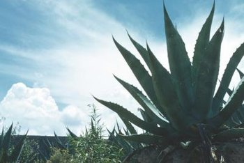 Agave plants reproduce if their roots remain in the ground.