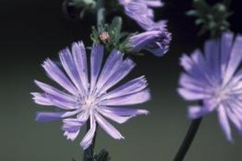 Chicory grows effortlessly in most gardens.