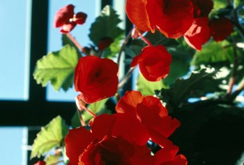 Plants that fare well in greenhouses include begonias.