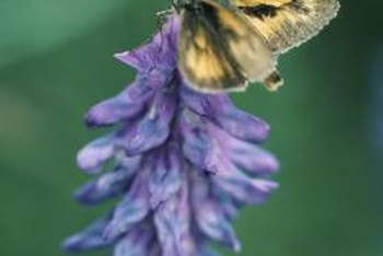 Moths use a specialized mouth parts to feed on flower nectar.