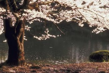 Fast-growing trees such as the Japanese cherry grow up to 10 feet per year.