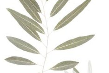 Silver-gray leaves help some tree species thrive in hot, dry environments.
