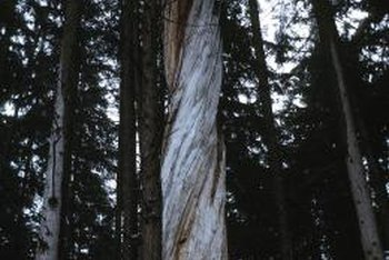 The clockwise growth of wood grain shows in this tree.