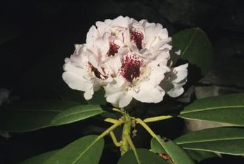 The more iron available in your soil, the happier a rhododendron will appear.