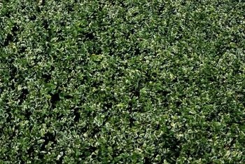 Laurel Hedges Can Add Or Detract From Your Landscape