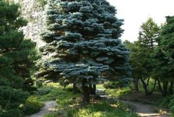 Blue spruce is an eye-catching specimen tree in a yard.