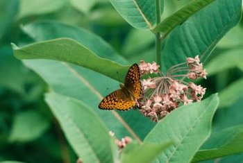 Milkweed's colorful flowers attract bees and butterflies.