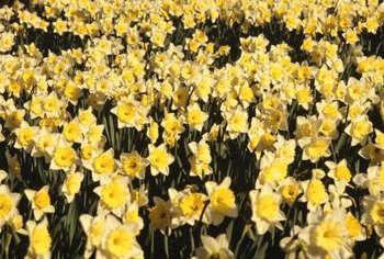 Narcissus bulbs tolerate digging and moving during summer dormancy.