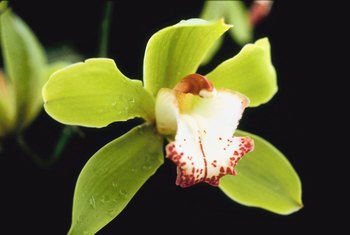 To get the most from your cymbidium, time fertilizers properly.