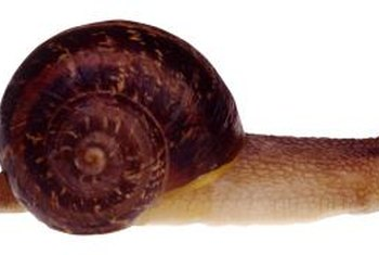 Introduced to California in the form of escargot, garden snails are now a common pest.
