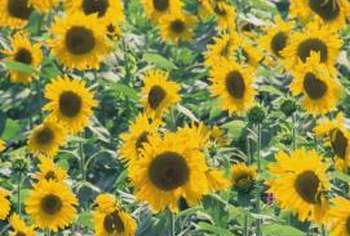 Plant Just One Sunflower Variety Or An Ortment Of Sizes And Colors