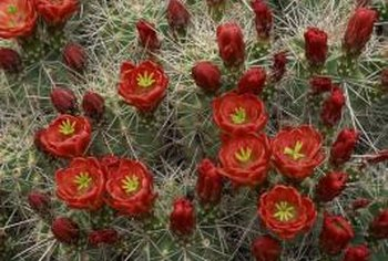 Claret cup cactus resists caterpillars and attracts hummingbirds.