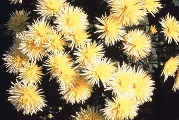 Chrysanthemums come in hundreds of varieties, some with unusual flower shapes.