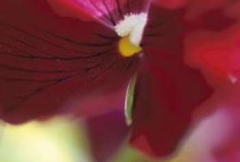 Dark lines radiating from the center of a pansy bloom are referred to as penciling.