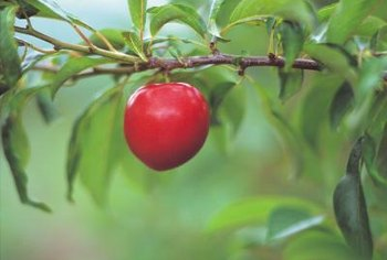 Protect your apple tree before it blooms by applying insecticide.