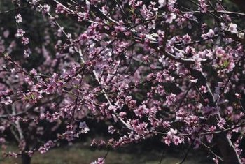 Fruitless peach trees are also referred to as ornamentals.