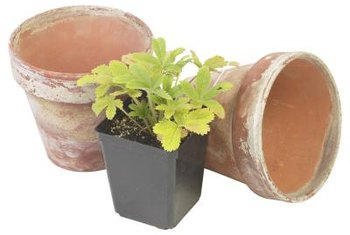 You can grow thriving strawberry plants in containers.