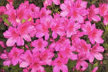 Azaleas are often pink, red, orange, white or purple.
