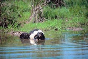how to get rid of skunks in the garden