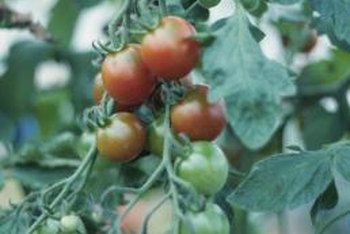 Gardeners look for ways to keep tomato plants off the ground.
